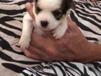I have two 7 week old female chihuhuas. They are sweet,