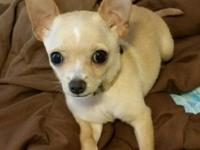 Kit is a 4 month old creme chihuahua with white
