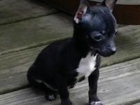 Adorable CKC registered female short haired Chihuahua