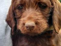 Family raised F1 Labradoodle puppies. The mother is a