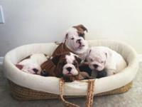 Good morning guys, we have 4 beautiful English Bulldogs