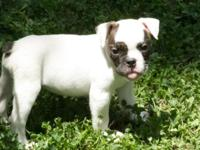 Four CKC English Bulldog puppies for sale. 2 males, 2