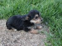 i have two female yorkiepoo born on 4/8/2015 had first