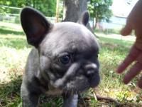 I have 2 CKC registered French Bulldog puppies that