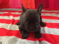 CUTE CKC FRENCHTON BULLDOG PUPPIES.  MALES &