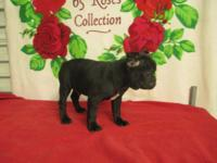 CKC FRENCHTON BULLDOGS PUPPIES. 1 MALE & 1 FEMALE. WE