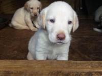 2 female Labrador retrievers white dudleys wormed first
