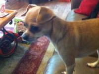 Cute, energetic male chihuahua. His name is Dolce and