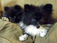 ADORABLE CKC MALE POMERANIAN PUPPIES. They were born on