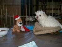 This is a little Maltepoo boy. He was born Sept. 25,