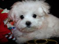 I have 3 Adorable Maltese puppies there UTD with shots