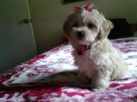I have one ckc male malty poo puppy for sale, he is 9