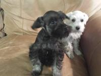 CKC Mini Schnauzers 9 weeks old? Price $375--- These