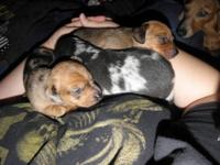 3 smooth hair minature dapple dachshunds for sale. I