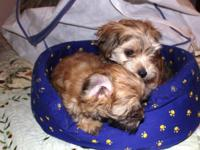 Cute, playful Morkie (Yorkie/Maltese) puppies are
