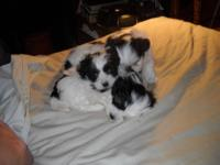 these are cute ckc morkies (maltese/Yorkie) will be