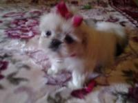 I have one ckc registered peke a tzu puppy for sale