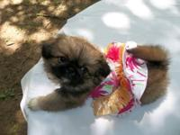 CKC Female Pekingese Puppy for Sale Date of Birth