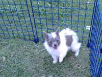 ONE LEFT, We have 1 Pomeranian puppy ready for a new