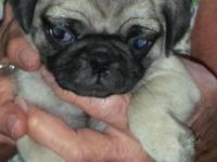 I have a new litter of the cutest little pugs looking