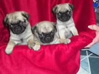 Cute ckc pug puppies for adoption. Fawn colored. 5