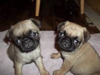Cute ckc registered pug puppies for adoption. 2