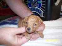 i have 1 female apricote and 1 male red ckc toy poodle