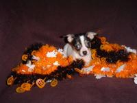 This chihuahua female is CKC registered. She is a sweet