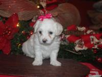 CKC Reg. Cotonese young puppies for sale. Mother is