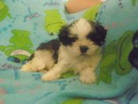 My adorable Shih-Tzu puppies are ready to be adopted