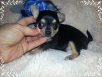 I have four beautiful Chihuahua babies ready by