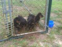 I have 3 German Rottweiler male young puppies. They