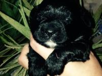 Cute CKC registered Shih -Poo male and female young