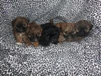 CKC registered Shih Tzu puppies born May 1, 2015 1st