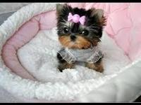 Animal Type: Dogs Cute CKC tiny teacup male Yorkie