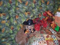 This little toy poodle male we call POO. He is a dark