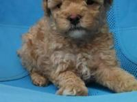 CKC male toy poodles for sale. They were born Apr. 29th