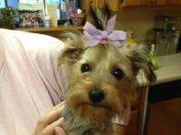 Adorable little toy Yorkie. Will be under 4 1/2 pounds