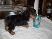 7/7/12 updated pictures. CKC black tan yorkie with