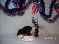 This little yorkie-poo is a cute little chocolate