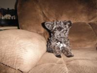 i have 2 cute lil yorkie poo dogs left 1 male and 1