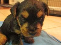 We have four yorkie puppies for sale. They are CKC