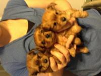 we have two female ckc yorkies remaining in our litter