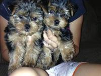 I have two male Yorkshire Terriers for sale.Short