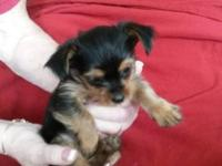 CKC Yorkshire Terrier young puppies readily available