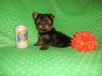CKC Registered Yorkshire Terrier Male Puppy 11 weeks