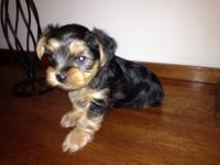 9 week old yorkie male puppy for sale, asking $600. He