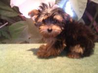 Cute Yorkie Female Puppy for sale. Born on 12/16/2012