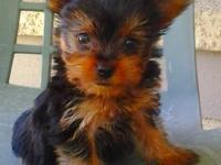 I have one very cute male Yorkie Puppy for sale. He was