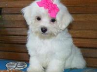 Animal Type: Dogs Breed: Maltese Offering this Very